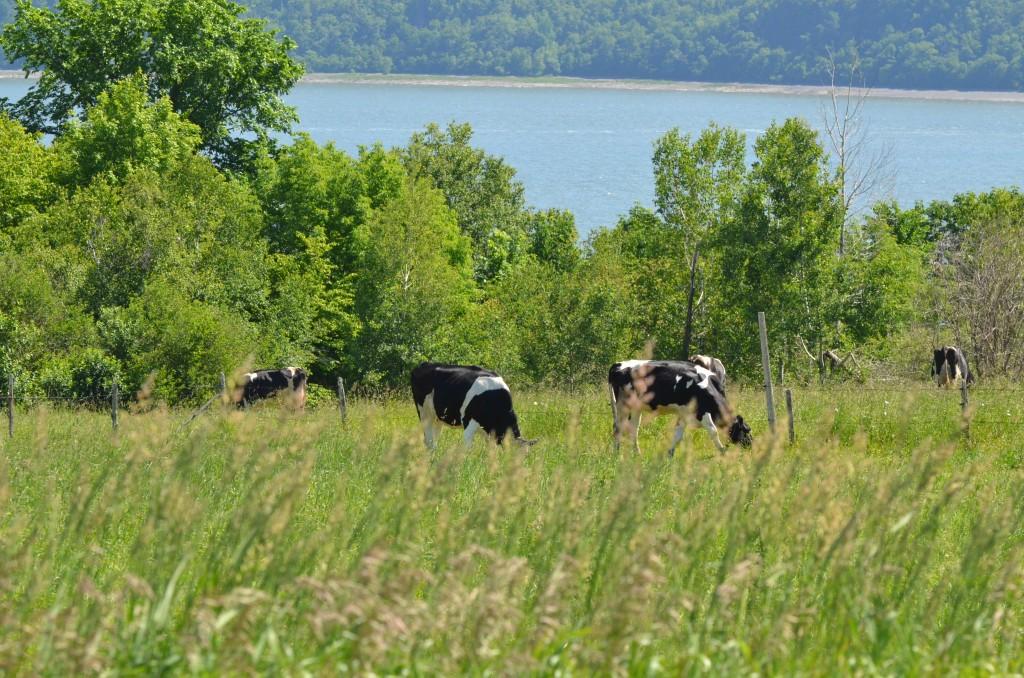Vaches à Saint-Jean de l'Île d'Orléans